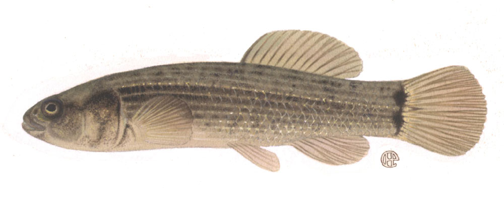Eastern Mudminnow