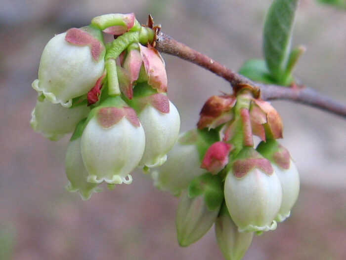Highbush Blueberry buds