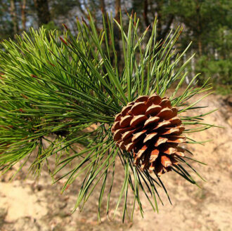 Pitch Pine Cone 2