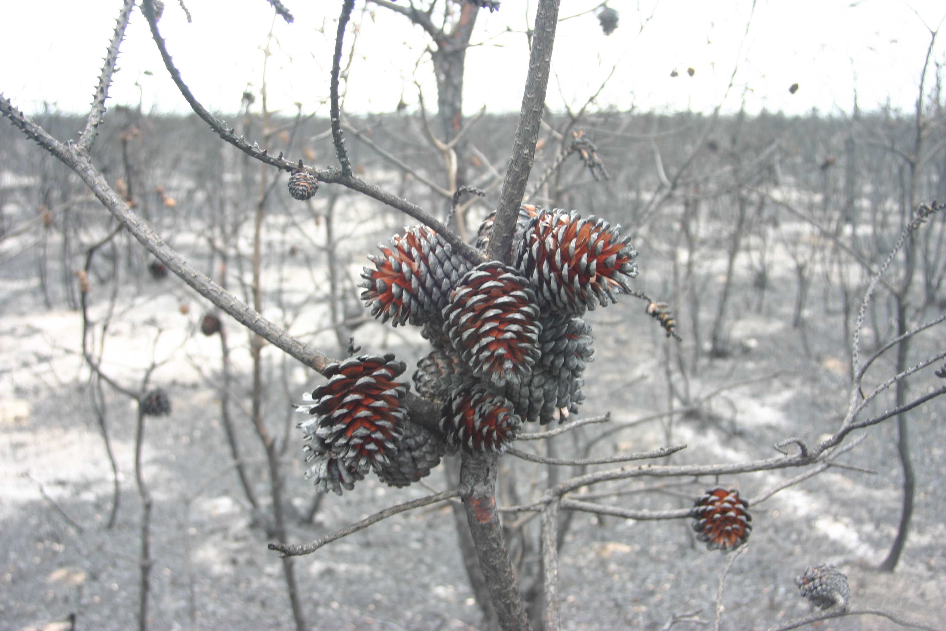 Warren Grove Fire Pine Cone