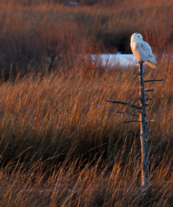 snowy owl new jersey pine barrens
