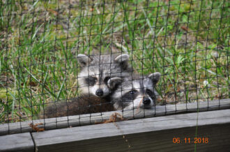 Baby Raccoons by Rosemary Anderson