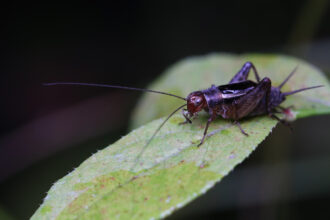 Jiminy Cricket of the Pine Barrens by Isa Betancourt