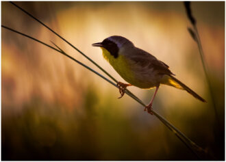 Backlit Common Yellowthroat by Anthony Cedrone