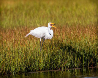 Egret Eating a Dragonfly by Matthew Cipolloni