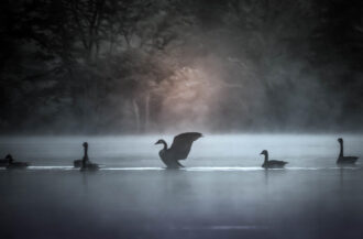 Geese In The Fog by Matthew Cipolloni