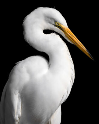 Great Egret by Brian Collins