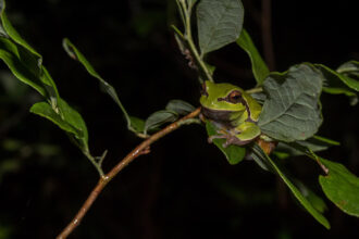 Pine Barrens Tree Frog on Blueberry by Gregory Fischer