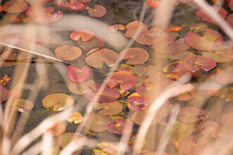 Lily Pads by the Bog by Sabrina Foland