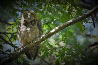 Juvenile Great Horned Owl by Alyse Ford