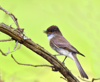 Eastern Phoebe by Frank Grasso
