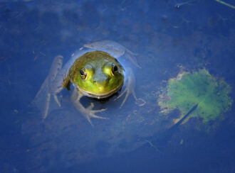 Frog in a pond by Frank Grasso