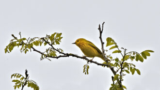Yellow warbler by Frank Grasso