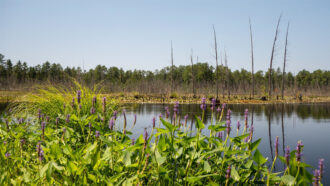 Throught the Pickerel Weed at Goshen Pond by Laura Hawkins