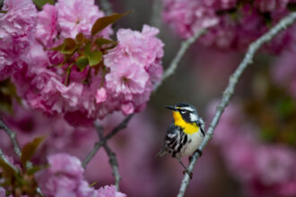 Yellow-throated Warbler in Pink by Raymond Hennessy