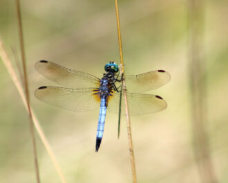 Delicate Dragonfly by Linda Hollins