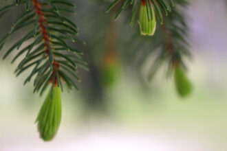Soft Pines by Crystal Inman