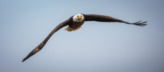 Bald Eagle by Larry Lyons