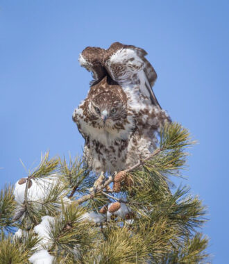 Red-tailed Hawk by Larry Lyons