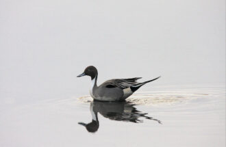 Pearl Gray Day with N. Pintail by Maryann Martin