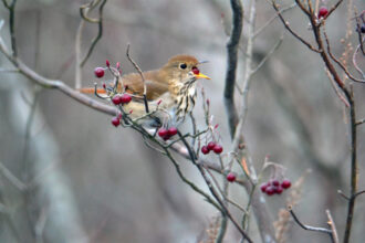 A Berry Hungry Hermit Thrush by Vicky McErlean