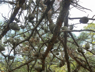 Pine Cones in the Pinelands by Hella McVay