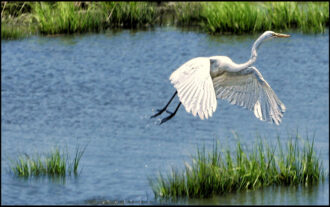 """""""Great White Egret in Flight"""" by Michael PADWEE"""