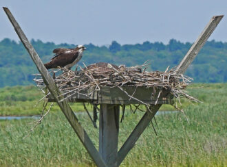 """Nesting Ospreys"""" by Michael PADWEE"""