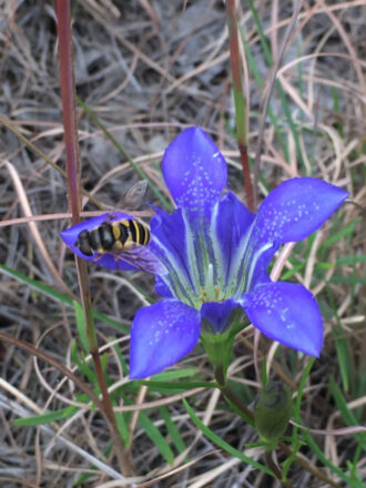 Pine Barrens Gentian and Hoverfly by Adam Palmer