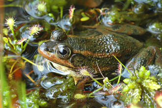 Carpenter Frog and Spatula-leaved Sundews by Joanna Patterson