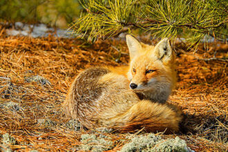 Red Fox Under Pine Tree, Island Beach State Park by Joanna Patterson