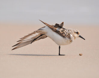 Sandpiper Wingstretch by Jeff Sayre