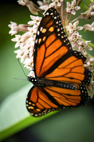 Magnificent & Mighty Monarch by Kathleen Tezla