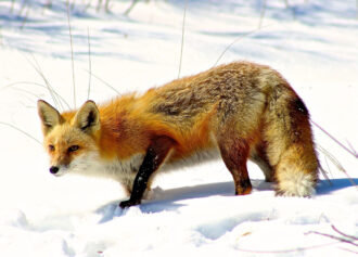 Fox in the snow by Jackie Touw