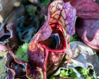 Pitcher Plant by Connie Wagner