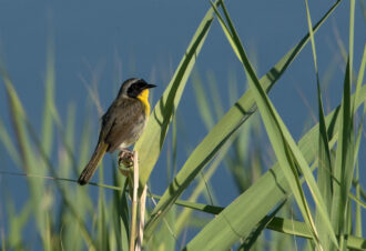 Common Yellowthroat by kyle chelius