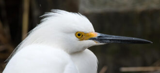 Snowy Egret by kyle chelius