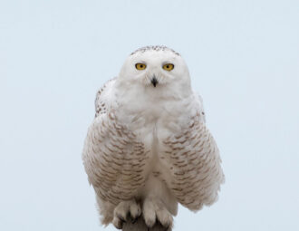 Snowy Owl by kyle chelius