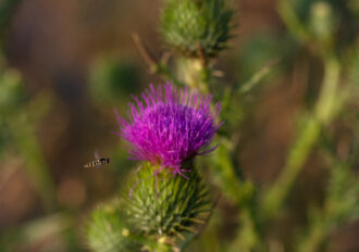 Thistle and Bee by kyle chelius