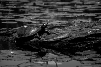 Feathered Turtle - Victory Lakes by Jared Valdez_1