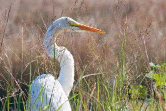 Great Egret Peeking Through the Grass by Joanna L Patterson