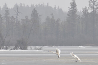 Through the Fog Tundra Swans by Joanna L Patterson