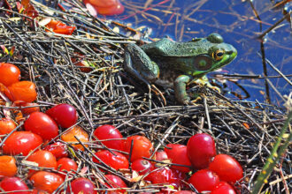 Tiny Green Frog with Cranberries by Joanna L Patterson