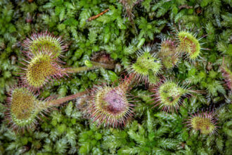Round-leaved Sundews by Larry Lyons