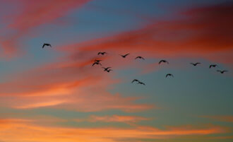Geese in the sunset by Michael Coleman