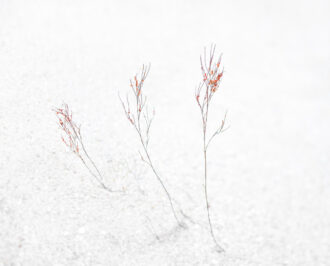 Post-Frost Jointweed by Michael Neuhaus