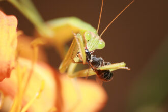 Preying Mantis Devours Bee by Monica Hollenbeck