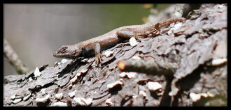 Eastern Fence Lizard by Paul Smikovecus