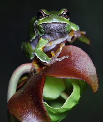 treefrog on pitcher plant new jersey pine barrens